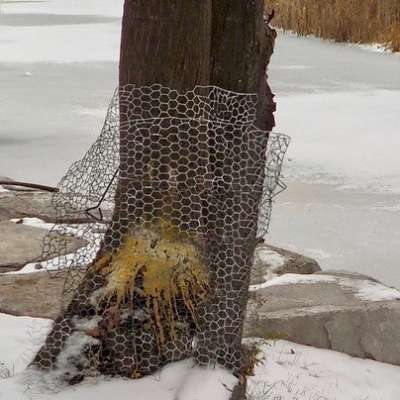 Tree Protection from Beavers