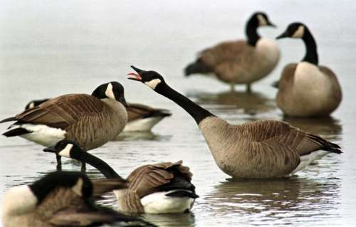 Wildlife Goose Management