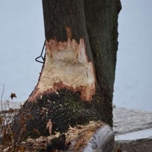 An example of the damage that a beaver can do.
